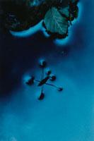 水に浮かぶアメンボとハンノキの葉 カリフォルニア アメリカ 02188000388| 写真素材・ストックフォト・画像・イラスト素材|アマナイメージズ