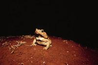 暗闇の中のオオヒキガエル 02188000397| 写真素材・ストックフォト・画像・イラスト素材|アマナイメージズ
