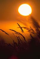 夕日と草のシルエット