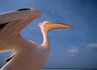 ペリカンの羽ばたき    モルディブ