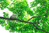 枝にとまっているエゾフクロウ