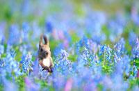 花畑とエゾリス 02233000305| 写真素材・ストックフォト・画像・イラスト素材|アマナイメージズ