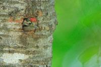 巣穴から顔を出すコアカゲラのヒナ