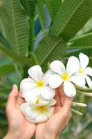 プルメリアの花を持つ女性の手