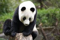切り株に座るパンダ
