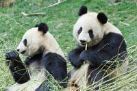 笹を食べる2頭のパンダ