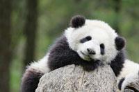 昼寝をする子パンダ