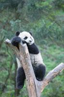 木の枝に乗る子パンダ