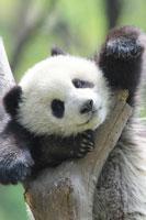 木の枝に掴まる子パンダ