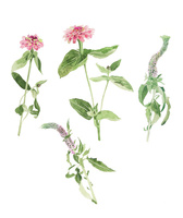 春の草花 百日草