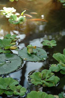 蓮の葉の上のカエル 02240000046| 写真素材・ストックフォト・画像・イラスト素材|アマナイメージズ