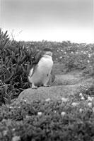 海岸を歩くペンギン