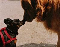 2匹の犬(ゴールデンレトリバーとミニチュアピンシャー) 02262000015| 写真素材・ストックフォト・画像・イラスト素材|アマナイメージズ