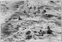 荒波に泳ぐ生き物の群れ B/W バタゴニア アルゼンチン