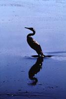 原油流出で犠牲の1羽の鳥 クウェート 1991年