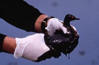 湾岸戦争余波の鳥をつかむ男性の手 クウェート 1991年