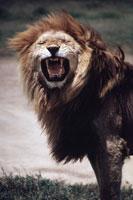 雄ライオン セレンゲティ国立公園 タンザニア 1972年 02265009469| 写真素材・ストックフォト・画像・イラスト素材|アマナイメージズ