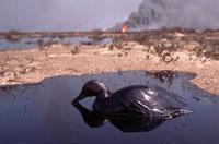 原油まみれの汚染されたガ゙チョウ 1991年 クウェート
