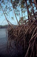 マングローブの樹