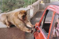 いたずらをする野生猿 ジブラルタル 02265014582| 写真素材・ストックフォト・画像・イラスト素材|アマナイメージズ