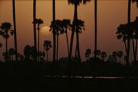 太陽と椰子の木のシルエット(オレンジ色) インド 02265015184| 写真素材・ストックフォト・画像・イラスト素材|アマナイメージズ