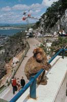 手すりにつかまり観光客を眺める野生猿 ジブラルタル