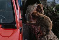 自動車のサイドミラーに触る野生猿 ジブラルタル