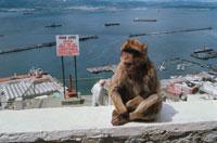 街中で座る野生猿 ジブラルタル