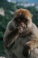 手をくわえる野生猿 ジブラルタル