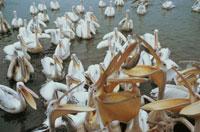 湖の白ペリカンの群れ ザイール