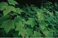 緑色の葉 夏