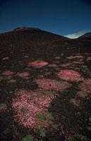 高原の山に咲く桃色の花 エトナ山 シシリー イタリア