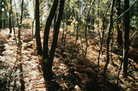 松の森 ランド アキテーヌ地方 フランス 02265025590| 写真素材・ストックフォト・画像・イラスト素材|アマナイメージズ