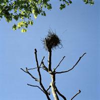 裸の樹に作られた鳥の巣