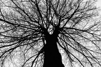 途中で二つに分かれた大木