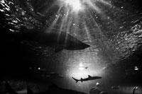 水族館の鮫のシルエット