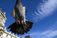 飛び立つ鳩と青空