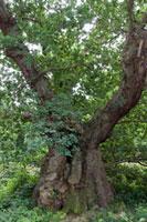 樹齢900年以上と推定されるオーク