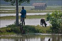 牛を放牧する農民 02265038840| 写真素材・ストックフォト・画像・イラスト素材|アマナイメージズ