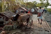 家畜と農民 02265038844| 写真素材・ストックフォト・画像・イラスト素材|アマナイメージズ