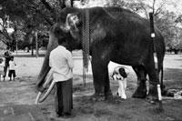 幸運を祈願するため、象の下を潜る、赤ちゃんを抱いた男性