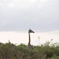 タンザニアの草原のキリン
