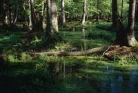 水たまりに倒れた木