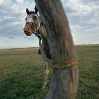 木につながれた馬