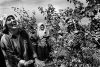 笑顔で葡萄を収穫する農家の人々
