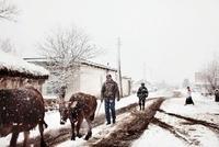 雪の中の放牧