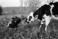 牛に挨拶をする少女