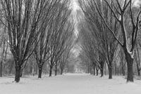 雪降る公園の木々