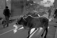 路上を彷徨う牛