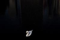 湖の白鳥 02265041010| 写真素材・ストックフォト・画像・イラスト素材|アマナイメージズ